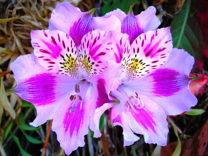 Top 5 Most Exotic Wedding Flowers | Alstroemeria