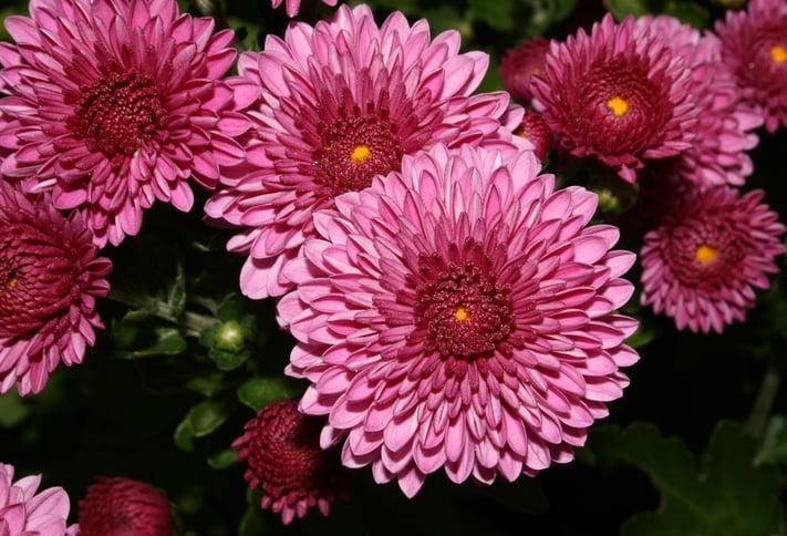 Top 5 Most Exotic Wedding Flowers | Chrysanthemum