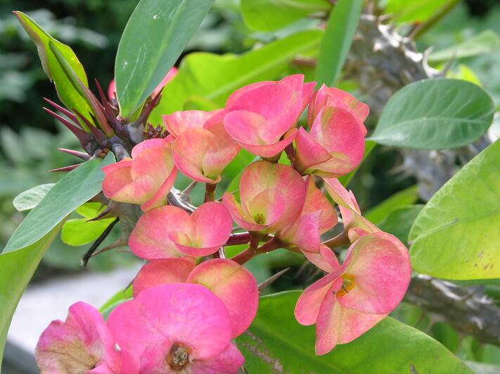 Best Plants to Grow Indoors | Crown of Thorns