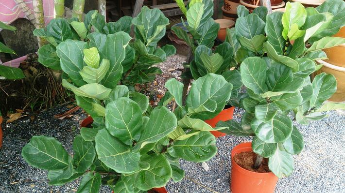Best Plants to Grow Indoors | Fiddleleaf Fig