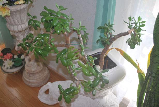 Best Plants to Grow Indoors | Jade Plant
