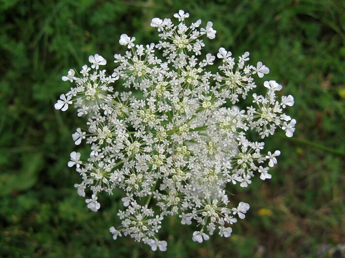 Top 5 Most Exotic Wedding Flowers   Queen Anns Lace